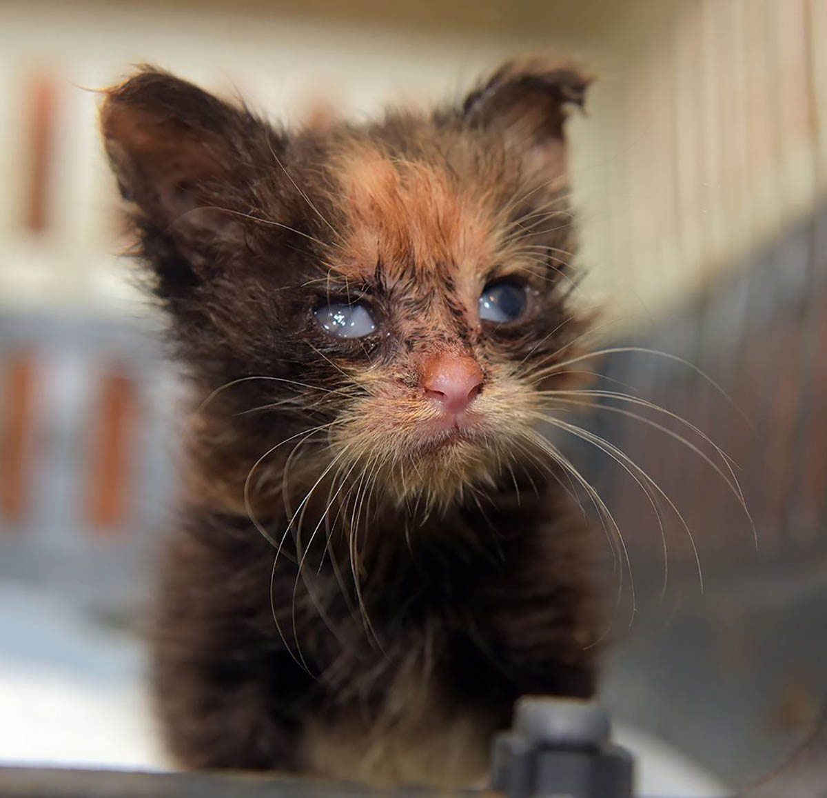 Rhinotracheitis Called Feline Herpes Or FVR Is Very Contagious